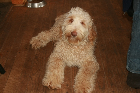 Double Doodle Puppies For Sale Goldenbelle Doodles