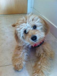 Bentley puppy
