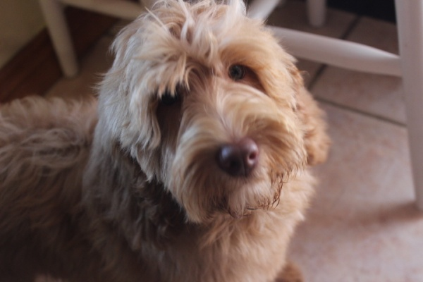 Australian Labradoodle Puppies For Sale By Breeder