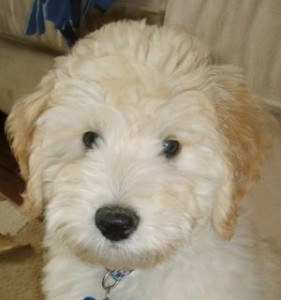 Miniature Labradoodle Dogs for Sale in Ontario, Canada