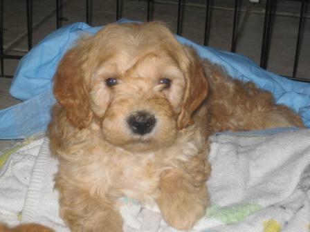 Miniature Goldendoodle & Labradoodle Puppies for Sale