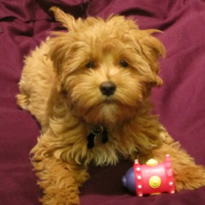 Petite Goldendoodle Puppies for Sale Ontario