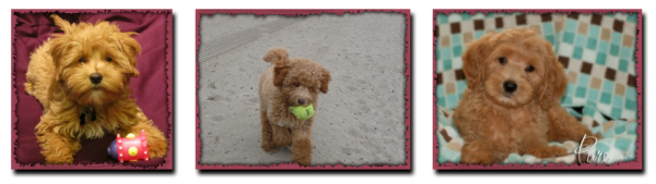 Petite Mini Tiny Goldendoodle Puppies For Sale