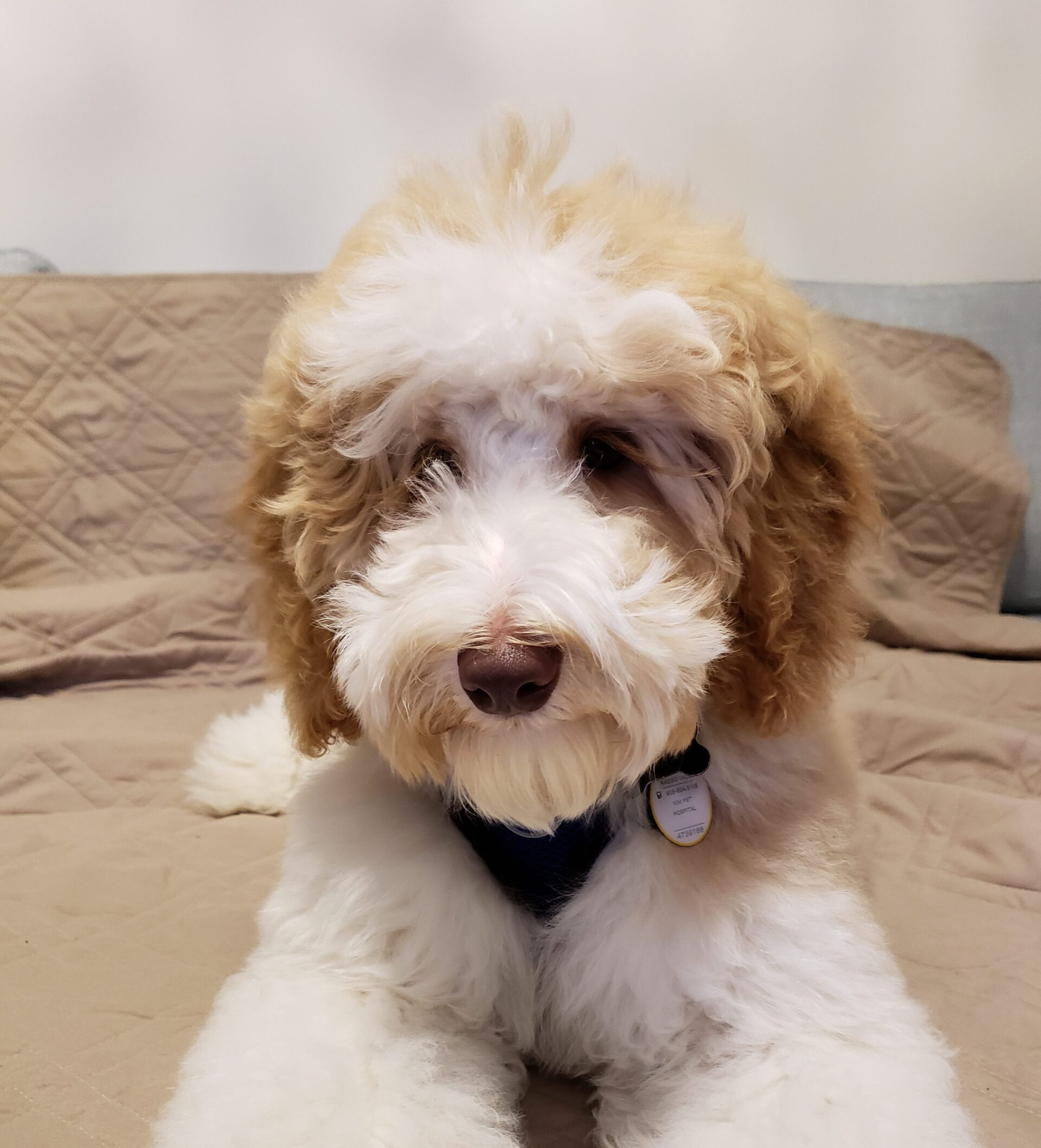 Miniature Goldendoodle Labradoodle Puppies For Sale